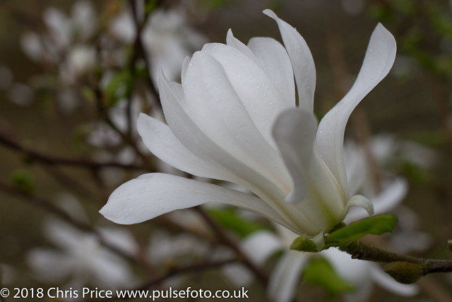 Magnolia Stellate