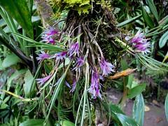 orchids at max's place (Pete Read) Tags: orchids maxs papau new guinea mount hagen