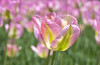 TULIPAN (Charo Castro) Tags: tulipán jardínbotánico madrid españa spain canon charocastro bulbos flores primavera