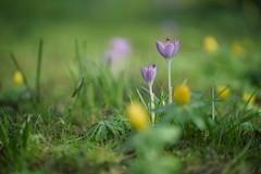 mom & dad (christian mu) Tags: spring flowers germany münster bokeh botanicalgarden botanischergarten nature muenster christianmu sonya7ii batis8518 zeiss sony batis 8518 85mm