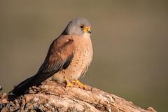 cernicalo posando 2 (barragan1941) Tags: aves cernicaloprimilla fauna rapaces toledo coth5