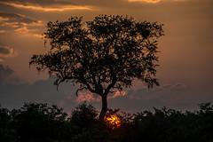 Sunset - Kruger NP - South Africa (bart coessens) Tags: africa sunset sun tree landscapes landscape mopani southafrica southafricannationalparks southernafrica kruger krugernationalpark sanp sanparks safari