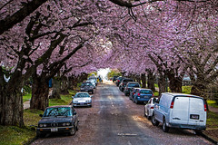 Pink Perfection 🌸🌸🌸 Vancouver, BC (Michael Thornquist) Tags: cherryblossoms vancouver britishcolumbia dailyhivevan vancitybuzz vancouverisawesome veryvancouver 604now photos604 explorecanada ilovebc vancouverbc vancouvercanada vancity pacificnorthwest pnw metrovancouver gvrd canada sakura akebonos hastingssunrise graveleystreet 桜