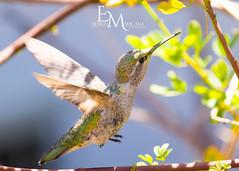 Hummingbird (EGM2002) Tags: canoneos7dmkii canon7dmkii canon eos 7dmkii canon7dmk2 canon7dii 7dii canon70200mm canon70200lens canon70200mmlenscanon70200mm canon70200mmlens canonef70200mmf4lisusm ef70200mm f4l is usm ef 70200mm hummingbird bird
