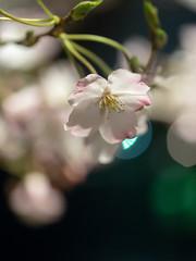 Softly at night (H.H. Mahal Alysheba) Tags: night garden sakura cherryblossom cherry tokyo japan lumix gx7 leicadg elmarit 45mmf28