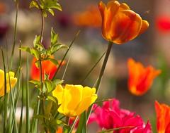 Multi Colours - Tulips (Adam Swaine) Tags: flora flowers petals gardens cottagegarden colours spring springinkent naturelovers nature canon kent british seasons