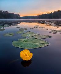 Yellow flowers on the lake (fedorlashkov) Tags: lake dawn flowers leningrad region