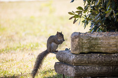 Squirrel and Snail (Gabriel FW Koch) Tags: wildlife canon gray animal telephoto eos bokeh squirrel wild outdoor rodent cute outside dof