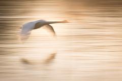 swanflight (looloo68) Tags: swan henley river thames nature bird flight motion blur sunset evening goldenhour golden