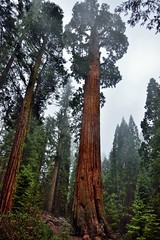 The General Grant Tree (Kings Canyon National Park) (thor_mark ) Tags: nikond800e day8 triptopasoroblesandyosemite capturenx2edited colorefexpro kingscanyonnationalpark sequoiaandkingscanyonnationalparks unescosequoiakingscanyonbiospherereserve sequoiakingscanyonbiospherereserve giantsequoias outside trees hillsideoftrees evergreens landscape nature talltrees talltreesallaround sequoiadendrongiganteum lookingup lookingupatsky lookingupatskythroughtrees lookingupatskythrutrees lookinguptosky overcast redwoods lightdrizzle pacificranges sierranevada sequoiasierranevada westernsequioakingscanyonarea walktothegeneralgranttree generalgrantgrove thegeneralgranttreetrail lookingnw thegeneralgranttree 1650yearsold project365 california unitedstates