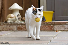 Treacle (parry101) Tags: cat cats pet pets animal animals treacle geraint parry geraintparry nikon nikond3200 d3200 fetch ball garden