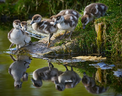 Mines A Pint!! (paulinuk99999 - tripods are for wimps :)) Tags: paulinuk99999 egyptian geese goslings hampton court palace gardens babies young water drink adorable cure sal70400g london surrey wildlife
