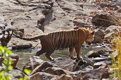 1155 Day 7 Tigers (brads-photography) Tags: india mala nationalpark pantheratigristigris rajasthan ranthambore royalbengaltiger sawaimadhopur sideon standing t57 tiger tigerreserve water waterhole wildlife
