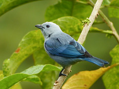 Blue-gray Tanager /Thraupis episcopus, Asa Wright, Trinidad (annkelliott) Tags: trinidad island caribbean west indies asawrightnaturecentre nature ornithology avian bird birds bluegraytanager thraupisepiscopus thraupidae sexesaresimilar sideview perched branch tree leaves foliage rainforest outdoor 20march2017 fz200 fz2004 annkelliott anneelliott ©anneelliott2017 ©allrightsreserved