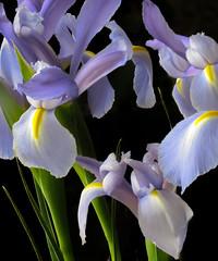 Iris Flowers (mahar15) Tags: spring blooms flowers nature flower bloom plants petals iris flowersplants