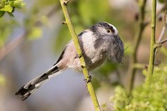 Blackbeard the LTT.....or it might just be feathers for the nest (Happy snappy nature) Tags: longtailedtit smallbird beautiful feathers plumage nature wildlife outdoors sunnyday shropshire
