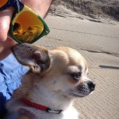 Happy #nationalpetday 😎🐶🌊 Tracey and I at the beach. #jenniferray #chihuahua #beach #dunes #sunnies (JenniferRay.com) Tags: instagram carbon fiber jewelry exclusive jrj jennifer ray paracord custom