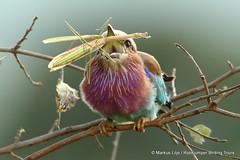 Lilac-breasted Roller Tarangire 2016 (markus lilje) Tags: markuslilje tanzania bird birds roller lilacbreastedroller coraciascaudatus mantis feeding