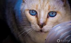 AZUL / BLUE (nrfer) Tags: animales gatos naturaleza nikon d7200 imagen momento calle contraste