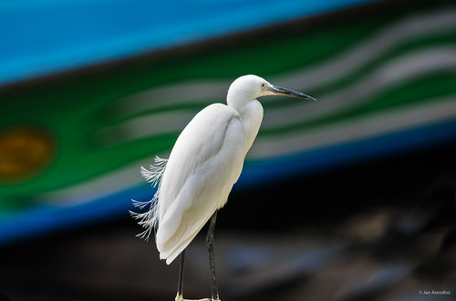 Egret with Blue and Green