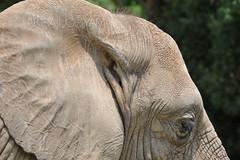 D3X_2361 (Akira Uchiyama) Tags: 動物たちのいろいろ 耳 耳アフリカゾウ