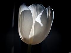 Encanto natural (Luicabe) Tags: airelibre cabello enamorado exterior flor fondooscuro luicabe luis macrofotografía naturaleza pétalo planta tulipán yarat1 zamora ngc