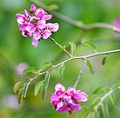 Easter Flower Securidaca diversifolia (jungle mama) Tags: securidacadiversifolia vine fairchildtropicalbotanicgarden fairchildgarden vinepergola pink