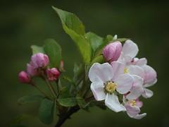 Tree Blossom. (mcginley2012) Tags: flower tree blossom whiteflower white nature spring2017 closeup ireland bud green