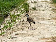 Spur-winged Plover (Vanellus spinosus) Luxor Egypt 13Aug07 b (kerrydavidtaylor) Tags: bythenile lapwing