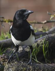 Magpie (6 of 34) (ianrobertcole1971) Tags: magpie garden corvid