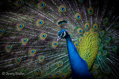 Feathers Galore (JKmedia) Tags: peacock male feathers boultonphotography 2017 newquayzoo bird avian colourful display blue green yellow