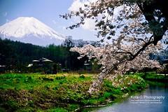 Spring is here! This is the season I like best in Japan. (kota-G) Tags: flower landscape spring 春 japan sakura cherryblossoms oshinomura 忍野村 fuji 富士山 nikon