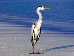 Grey Heron (sylviafurrer) Tags: graureiher greyheron meer malediven morgenlicht morninglight sea heron