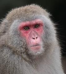 japanese macaque artis JN6A5171 (joankok) Tags: macaque makaak japansemakaak japanesemacaque macacafuscata macaca artis aap monkey primate primaat asia azie japan