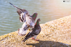Hitting the spot (technodean2000) Tags: pigeon back massage claws porth cawl rub porthcawl south wales uk sea wall wings colour bird sigma 70200mm