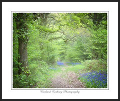 Lodsworth Common (Chalky666) Tags: tree trees wood woodland forest common bluebell spring southdowns westsussex painterly landscape art