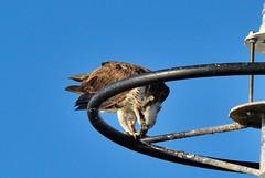 DSC_0005 (RUMTIME) Tags: osprey coochiemudlo coochie birds bird redlands brisbane australia