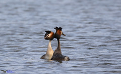 Great Crested Grebes displaying. (Explored) (spw6156 - Over 5,500,406 Views) Tags: great crested grebes displaying iso 640cropped copyright steve waterhouse explored