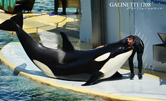 Keijo ♥ (GALINETTE1208) Tags: killer whales orque orca inouk keijo moana wikie marineland antibes 2017 nikon d5200 trainer bond soigneur love cute baby heart dolphin dauphins cetacean cétacé black white