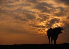 AWAke. (Warmoezenier) Tags: bas cielo clouds dijk holanda kattendijke nederland netherlands pays silhouet sunset vaca wolken zeeland zonsopgang