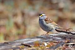 Bruant à gorge blanche / White-throated Sparrow - Zonotrichia albicollis (Éric Carignan) Tags: parcdelarivièrebatiscansecteurbarrage saintnarcisse québeccanada bruant à gorge blanche whitethroated sparrow zonotrichia albicollis nikon d3200 70300mm f4556