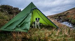 16/52 'Tenting' (JJFET) Tags: 16 52 weeks for dogs elk tenting camping brecons border collie dog sheepdog
