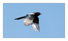 Magpie in Flight (Unintended_Keith) Tags: mapgie iridescent birdinflight flying bird bluesky canon1dx sigma150600mms nature wildlife