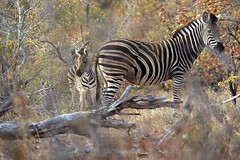 Mother and baby (crafty1tutu (Ann)) Tags: travel holiday 2016 southafrica africa african animal zebra motherandbaby motswariprivategamereserve wild inthewild free roamingfree crafty1tutu canon7dmkii ef100400mmf4556lisiiusm anncameron nature naturescarousel coth naturethroughthelens anaturecanvas ngc naturesgoldencarousel