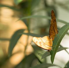 JM foto75-138 (janetankersmit) Tags: 2017 vlinders vlindertuin zutphen