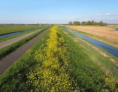 Durgerdam-IJsselmeerdijk (3) (de kist) Tags: kap nederland thenetherlands waterland ijsselmeer ijsselmeerdijk dijk dyke durgerdam flora raapzaad turnip turniprape brassicarapa ijdoorn luchtfotografie aerialphotography