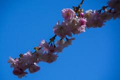 Pink Blossom (Rudi Pauwels) Tags: goteborg gothenburg sverige sweden schweden blossom pink blue bluesky pinkblossom spring spring2017 springtime macro closeup tamron 18270mm tamron18270mm nikon d7100 nikond7100