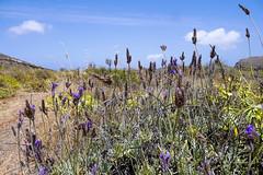 Flowers in Lanzarote (simonturkas) Tags: lanzarote canaryislands islascanarias travel wanderlust amazing beautiful nature latituddevida latitudeoflife spain visit spaininmyheart plants blue sky bluesky