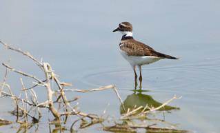 Killdeer (Charadrius vociferus); Wilcox, AZ, Twin Lakes [Lou Feltz]