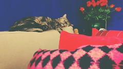 Boogie (Peeano Photography - ピアーノ写真) Tags: cat love boogie chillin hangin sleeping homesweethome